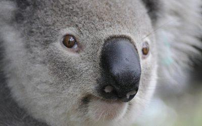 2019 Core Values Awards Case Study | Koala Conservation